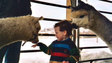 Child petting 2 alpacas
