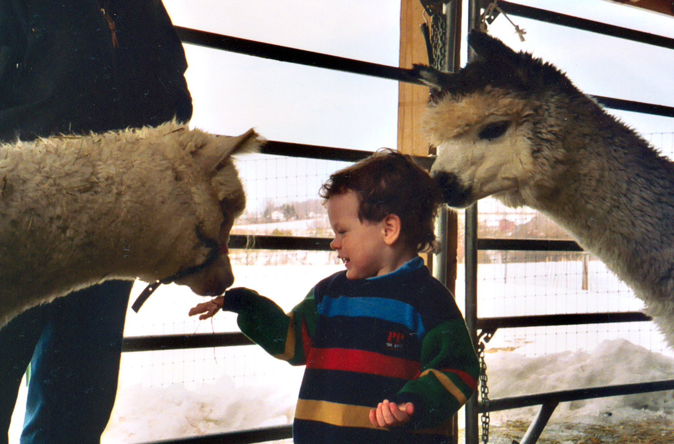 Child petting 2 alpacas